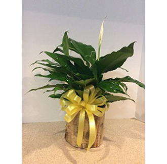 PEACE LILY WITH BOW