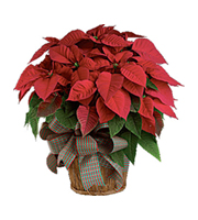 Flowers By Bauers Red Poinsettia