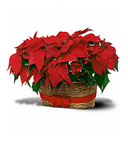 Flowers By Bauers Double Poinsettia