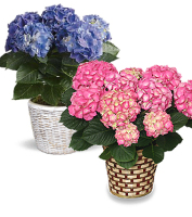 Hydrangea plant in a basket with blue flowers or pink flowers or lavender flowers or white flowers for delivery, Sunnyslope Floral Grand Rapids