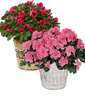 Send a beautiful Azalea plant in a basket to Grand Rapids, Rockford & Holland metro area same day online, Sunnyslope Floral Grand Rapids