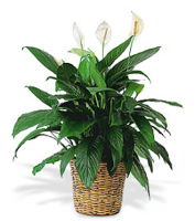 Buy peace lily plants & other green & blooming plants for same day delivery to Grand Rapids, Rockford, Holland, Walker & Byron Center with Sunnyslope Floral