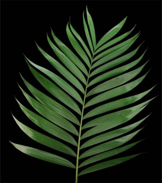 Order palm and palm branches for Palm Sunday in Grand Rapids & west Michigan