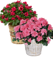 Blooming azalea plant in a basket for same day delivery for sympathy to a funeral home or for get well to a hospital, Sunnyslope Floral florist