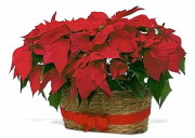 Renning's Double Poinsettia Basket