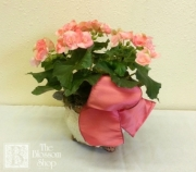 Begonia in Ceramic Pot