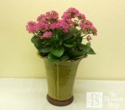 Kalanchoe in Ceramic Pot