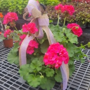 BLOOMING BEAUTY - HANGING BASKET