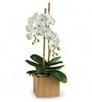 Opulent Orchids