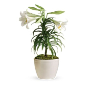 Teleflora's Easter Lily Plant