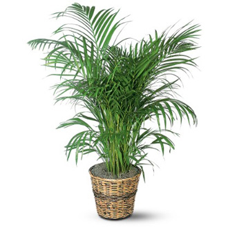 Palm in a Basket, plant, year round, birthday, thank you, get well, sympathy, corporate gifts