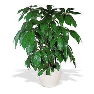 8-inch Schefflera, plants, corporate gifts
