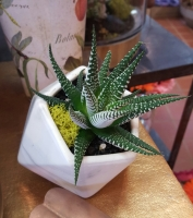 Haworthia Geometric