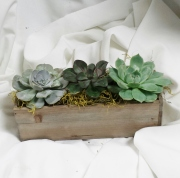 Succulents Boxed