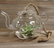 Airplant in Glass Teapot