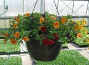 Caan Floral - Million Bells Mixed Hanging Basket