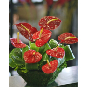 Anthurium Collection