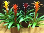 Assorted Bromeliads
