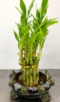 Lucky Bamboo Planter with Turtles
