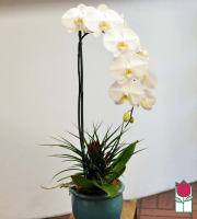 The BF Premium White Phalaenopsis Orchid in Ceramic