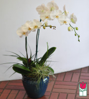 The BF Premium Double White Phalaenopsis Orchid Plant