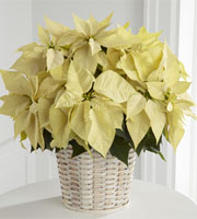 The FTD® White Poinsettia Basket (Large)