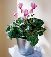 The FTD® Pink Cyclamen Plant