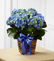 The FTD® Blue Hydrangea Planter