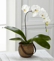 The FTD® White Phalaenopsis Orchid