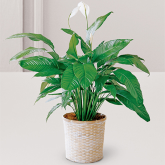 Florist peace lily plants and peace lilies with flowers for funeral home sympathy delivery to Grand Rapids metro area, Sunnyslope Floral in West Mi