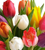 20 Stem Mixed Tulip Bouquet