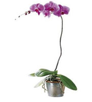 The FTD® Lavender Phalaenopsis Orchid
