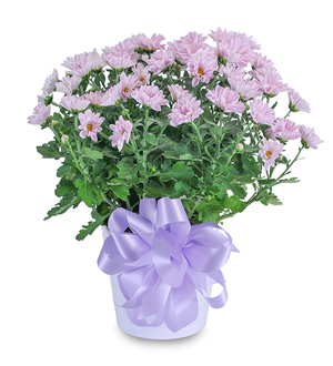 Lavender Chrysanthemum in Ceramic Container
