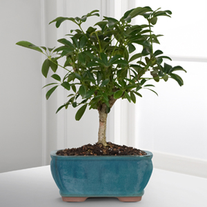 Dwarf Hawaiian Umbrella Tree Bonsai
