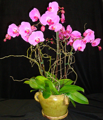 Deluxe Lavender Phalaenopsis Orchid