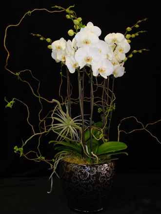 Deluxe White Phalaenopsis Orchid