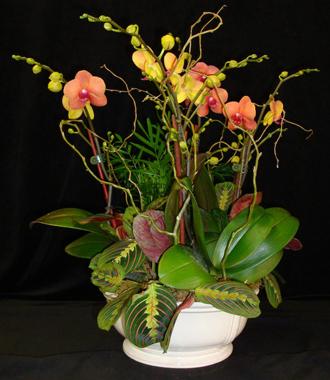 Orange Phalaenopsis Orchid