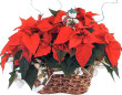 DOUBLE POINSETTIA PLANTS