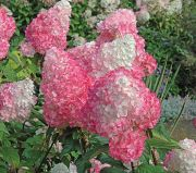 Blooming Hydrangea Plant
