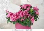 Blooming Azalea Plant