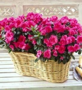 Double Blooming Azalea Basket