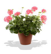 Patio Pot Geranium