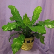 Bird Nest Fern 6