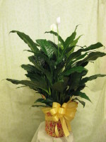 Peace Lily 8