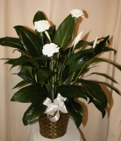Peace Lily 6-1