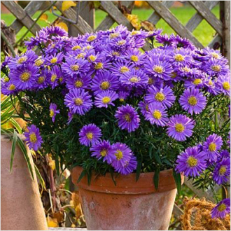 HARDY ASTER PERENNIAL PLANT
