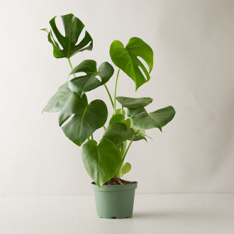 2020 PLANT OF THE YEAR- MONSTERA PLANT