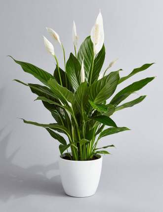 PEACE LILY IN WHITE CONTAINER