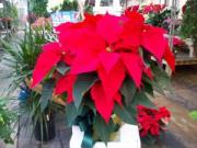Poinsettia TABLE TOP SIZE