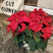 4 Bloom Red Poinsettia